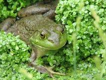 Balancierter grüner Frosch in einem Sumpf stockbilder
