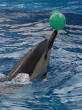 Balancing act. Common dolphin balancing a green ball on its nose Stock Image