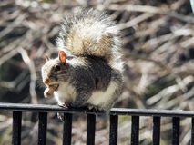 Balancing Act on Deck Rail by a Grey Squirrel Holding  Peanut in it& x27;s Mouth Stock Photography