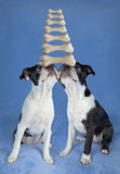 Balancing Boston terrier pups Stock Image