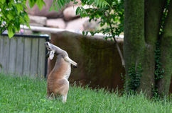 Balancing kangaroo Stock Photography