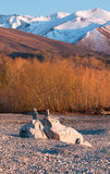 Balancing rocks on background of yellow willow trees. And mountains in early morning, Lake Pukaki, New Zealand royalty free stock photos