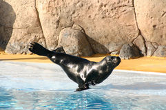 Balancing seal Royalty Free Stock Photography