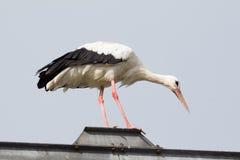Balancing Stork Royalty Free Stock Photography