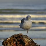 Balancing Seagull Royalty Free Stock Photos