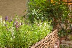 Balangdaros, purpurrote Blumen in einem Korb lizenzfreie stockbilder