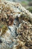 Balani ed alga su una roccia asciutta fotografia stock libera da diritti