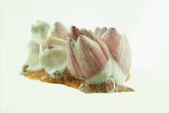 Balanoides seashell on white background Stock Images