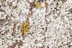 Balanomorpha op de rots met zeewier stock fotografie