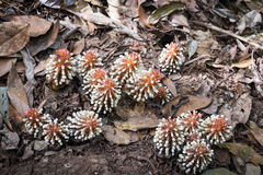 Balanophora en Thaïlande Photographie stock
