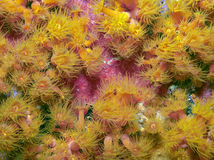 Balanophyllia elegans, orange cup corals Stock Photography