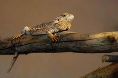 balansowa jaszczurka Zdjęcia Royalty Free