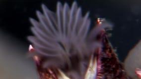 Balanus balanomorpha sea acorn marine crustaceans underwater on seabed. stock video