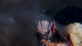 Balanus balanomorpha sea acorn marine crustaceans underwater on seabed. stock footage