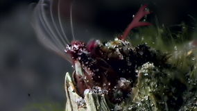 Balanus balanomorpha sea acorn marine crustaceans underwater on seabed. Unique dramaturgy pic macro video close up. Predators of marine immovable lifestyle on stock footage