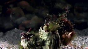 Balanus balanomorpha sea acorn marine crustaceans underwater on seabed. Unique dramaturgy pic macro video close up. Predators of marine immovable lifestyle on stock video