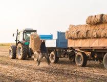 Balas de heno jovenes y fuertes del tiro del granjero en un tractor remolque - b Imágenes de archivo libres de regalías