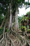 Balata garden, Martinique. Tropical tree in the garden of Balata, Martinique Stock Photos