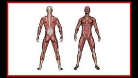 Balayage de l'anatomie humaine, muscles masculins banque de vidéos