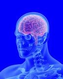 Balayage de rayon X de corps humain avec le cerveau évident Images libres de droits