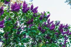 Balayez le lilas blanc de Terry avec des feuilles dans la perspective du ciel de ressort photo stock