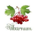Balayez les raisins Plante médicinale illustration stock