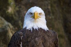 Balb Eagle Stare image stock