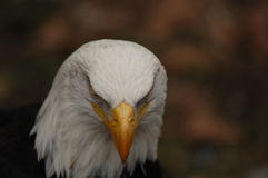 Balb Eagle Stare photo libre de droits