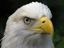 Balb Eagle Stare photos stock