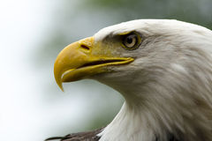 Bald Eagle Stare Royalty Free Stock Photos