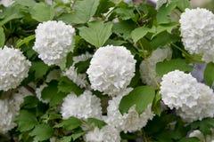 Balbloeiwijze Viburnumstruik, witte bloemen Stock Foto's
