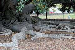 Balboa Park`s Magnificent Moreton Bay Fig Tree - Ficus Macrophyl stock photos