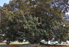 Balboa Park`s Magnificent Moreton Bay Fig Tree - Ficus Macrophyl stock photos