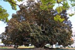 Balboa Park`s Magnificent Moreton Bay Fig Tree - Ficus Macrophyl royalty free stock photo