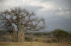 Balboa tree in the Serengeti, Tanzania Stock Image