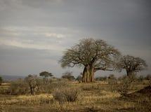 balboaserengetitanzania trees Arkivbild