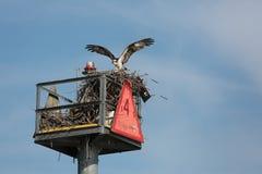 Balbuzard avec le bâton, nid de construction sur le moyen d'aide à la navigation Photo stock
