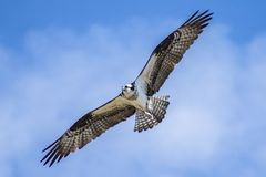 Balbuzard de montée contre le ciel bleu du Colorado image libre de droits