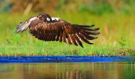 Balbuzard Ecosse Image libre de droits