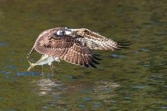 Balbuzard en vol avec le crochet XXI Photos libres de droits