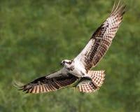 Balbuzard en vol avec le crochet XXV Photos libres de droits