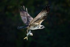 Balbuzard en vol avec le crochet XXX Photo stock