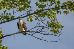 Balbuzard juvénile été perché dans l'arbre d'érable Photos libres de droits