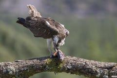 balbuzard masculin alimentant sur des poissons et la plongée Photo stock
