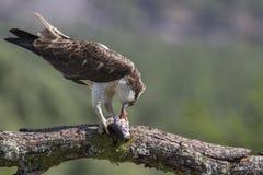 balbuzard masculin alimentant sur des poissons et la plongée Images stock