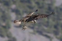 balbuzard masculin alimentant sur des poissons et la plongée Photographie stock libre de droits