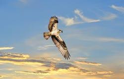 Balbuzard montant au-dessus d'un sunst image stock