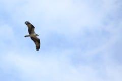 Balbuzard montant contre un ciel bleu-clair photos stock