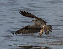 Balbuzard pêchant en vol un poisson Images stock