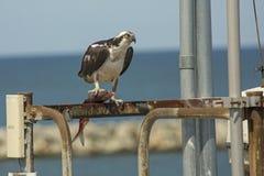 Balbuzard se tenant sur des structures de dock avec des poissons dans des ses serres photographie stock